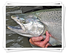 Chinook Salmon Fishing in BC