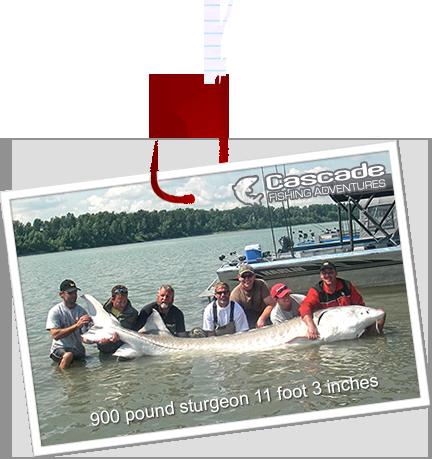 Largest sturgeon on Fraser River