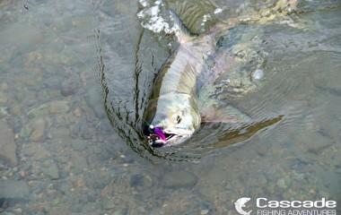 Big Chum Salmon Coming to Shore