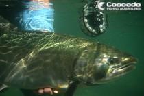 Big coho salmon released underwater
