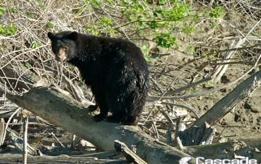 Black bear filmed from the fraser river