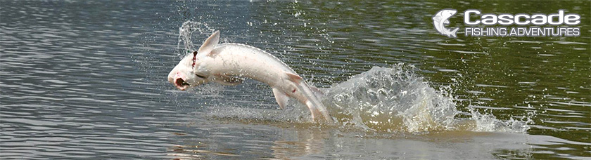 British Columbia Sturgeon