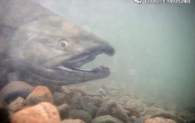 Chum salmon filmed underwater