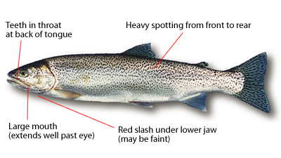 Cutthroat Trout Identification