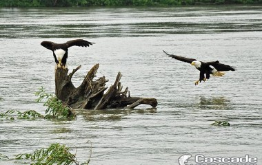Eagles fishing on the Fraser river