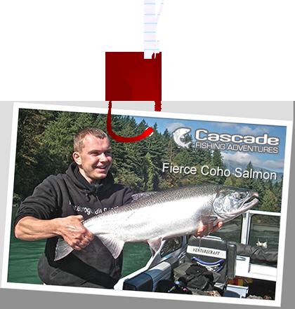Fierce Coho Salmon in the Fraser River