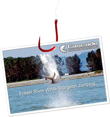 Fraser River White Sturgeon Jumping