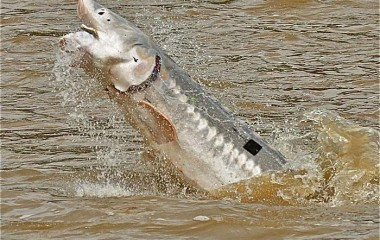 Giant White Sturgeon Leaping on the Fraser River