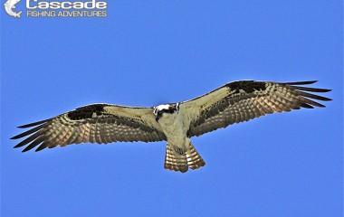 Osprey filmed in flight