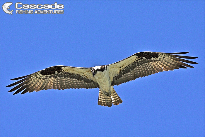 Osprey filmed in flight