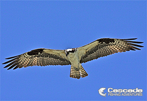 Osprey in Flight British Columbia