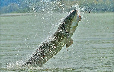 Sturgeon Hooked and Breaching The Fraser River