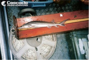 Tagging and Measuring Sturgeon Population Research