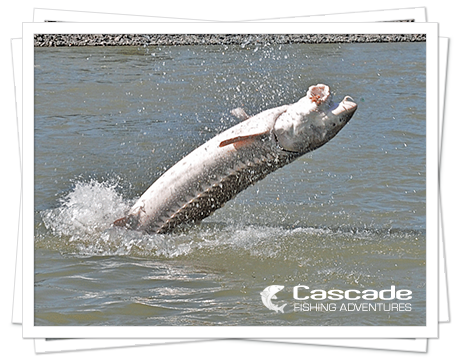 The thrill of a sturgeon jumping