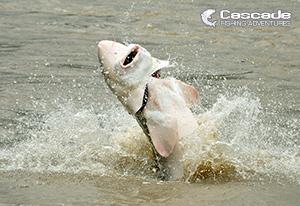 White Sturgeon Hooked and Fighting