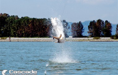 White Sturgeon Jumping out of the Fraser River