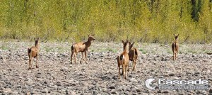 Blacktail Deer Are Abundant On The Fraser River