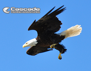 An Eagle Dives Beside Our Sturgeon Fishing Boat