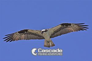 We Watch Ospreys Hunt While Sturgeon Fishing