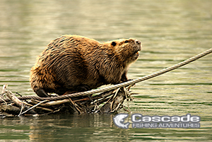 Beavers Are Seen On The Fraser River