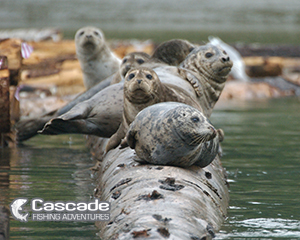 Seals Rest With A Full Belly Of Chum Salmon