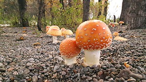 Local Mushrooms