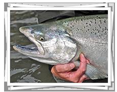 Chinook Salmon Fishing in BC