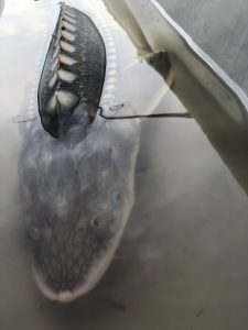 Juvenile White Sturgeon