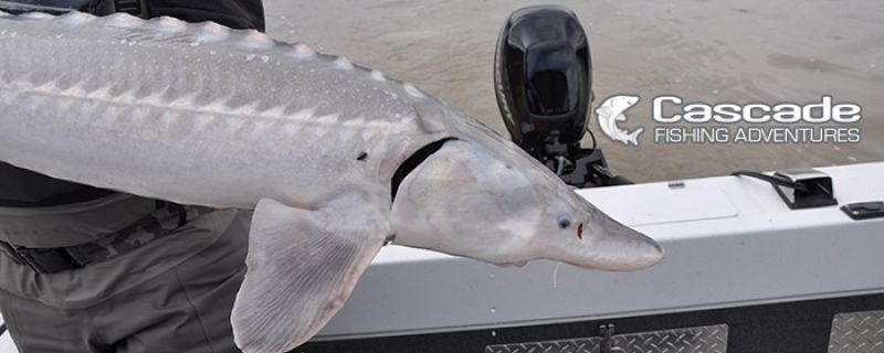 April Sturgeon Fishing Tips